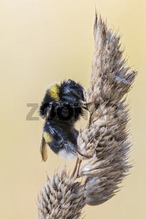 Helle Erdhummel, Bombus lucorum, White-tailed Bumblebee Macro Stack