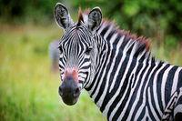 Zebra at Lake Mburo National Park in Uganda (Equus quagga)