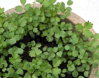 Pimpinelle, Kleiner Wiesenknopf, Sanguisorba minor