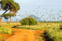 Flock of starlings in the savannah