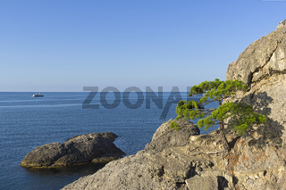 Relict pine on a steep rocky seashore.