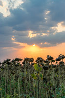 Beautiful sunflower field at sunset. Ripe sunflower field at sunset with a beautiful sky. Organic ripe sunflower field at sunset in autumn