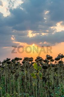 Beautiful sunflower field at sunset. Ripe sunflower field at sunset with a beautiful sky. Organic ripe sunflower field at sunset in autumn