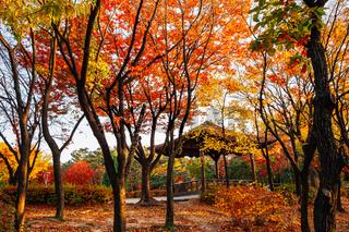 Namsangol park, Korean traditional pavilion with autumn maple forest in Seoul, Korea