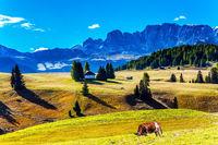 Fat cows graze on grassy hills