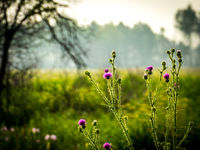 spiny thistle blooms in the meadow