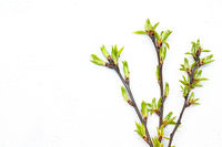 Sprig with young leaves on a light background. Twig with place for text.