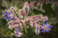 Spice and medicinal plant borage - The colours of nature