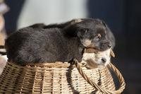 Cute fluffy black puppy in a wicker basket.