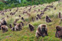 Baboon monkeys, Simien mountains, Ethiopia