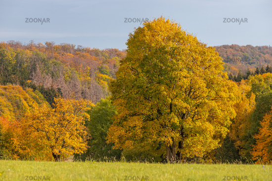 Foliage colouring golden October in the Harz Mountains