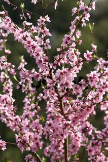 Aprikosenbluete, Prunus