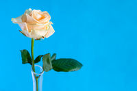 single yellow rose flower with blue background
