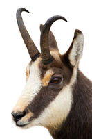 Tatra chamois looking in close-up isolated on white background.