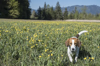 Beagle in globeflower meadow