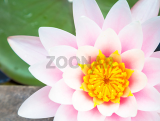 Romantic water lily with natural sunlight