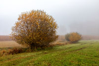 Bush in the mist on a meadow near Schrobenhausen, Bavaria, Germany