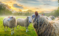 Flock of staring sheep