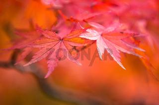 autumnal background, slightly defocused red maple leaves