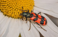 Bee-hive beetle 'Trichodes alvearius'