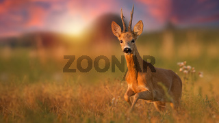 Roe deer buck running closer on a meadow in summer at sunset