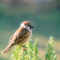 Sparrow on a branch