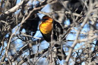 yellow-headed blackbird (Xanthocephalus xanthocephalus) New Mexico USA