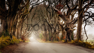 Autumn mist at The Dark Hedges, County Antrim, Northern Ireland.