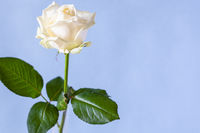 fresh white rose flower on pale violet background