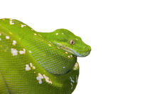 Green Tree Python Snake isolated on white background