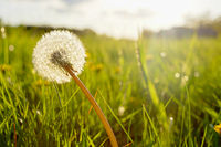 Close-up of dandelion plant glowing in bright sunlight