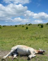 sleeping Horse (Haflinger) in hot Summer temperature