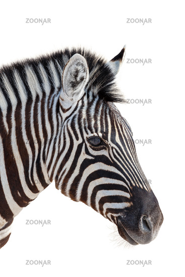 head of a zebra isolated in white background