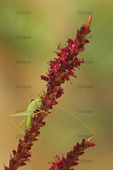Southern oak cricket (Meconema meridionale)