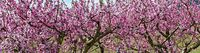pink crowns of flourishing fruit trees