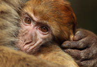 baby-ape in mother's arm