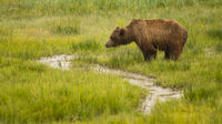 Large Female Grizzly Bear pauses while getting a drink from the creek