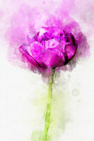 Flower magenta peony. Stylization in watercolor drawing.