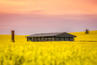 Barn and old ruin sit in a field of canola