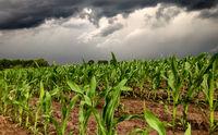 Dark storm skies looming over corn fields.