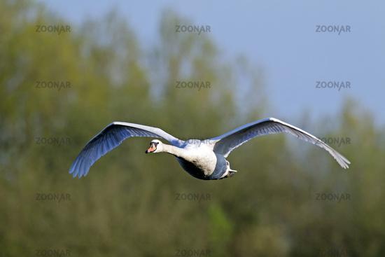 Mute Swan in flight / Cygnus olor
