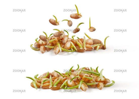 Natural organic germinated wheat grass, micro greens on a white background.