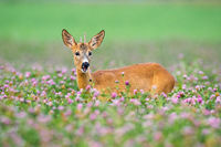 Young roe deer buck standing in blooming clover during the summer.