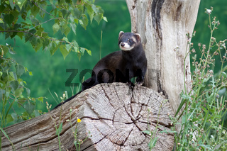 Polecat Coloured Ferret