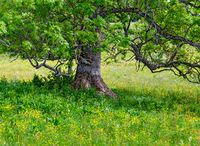 tree on a yellow flourishing meadow