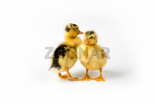 two little ducks closeup isolated