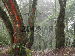 Mossy forest in Malaysia