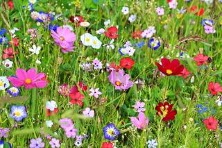 Farbenfrohe Blumenwiese in der Grundfarbe grünmit verschiedenen Wildblumen.