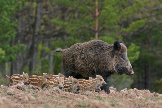 Boar and its kids