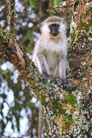 vervet monkey at Lake Mburo National Park in Uganda (Chlorocebus)